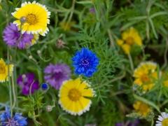 09prum-bloemetjes-blauw424
