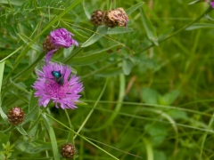 13birresborn-boswandeling-bloemen-paars-vlieg605