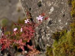 15birresborn-boswandeling-bloemetje-roze-steen479